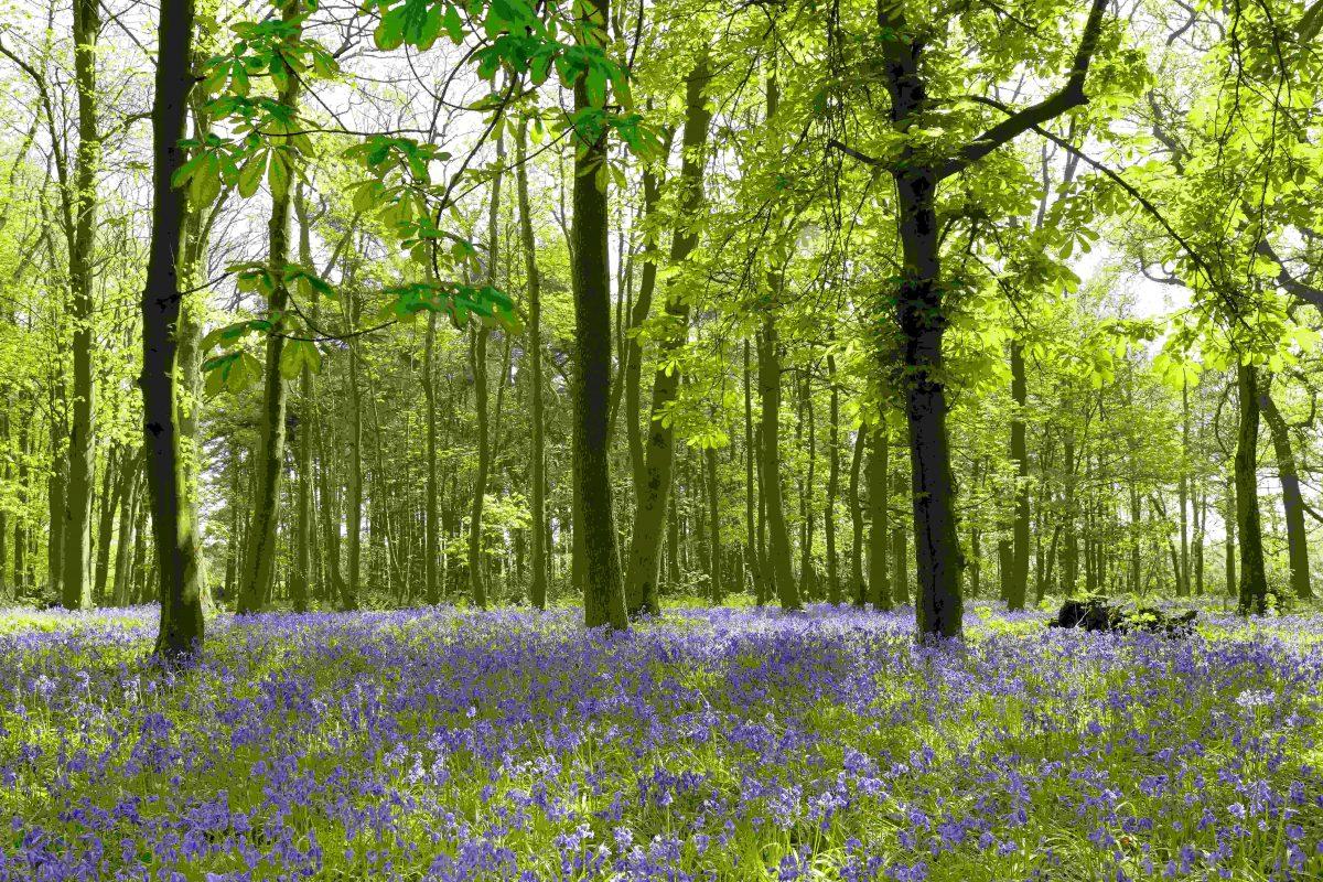 rsz_greenacres_rainford_bluebellwoodland-1200x800